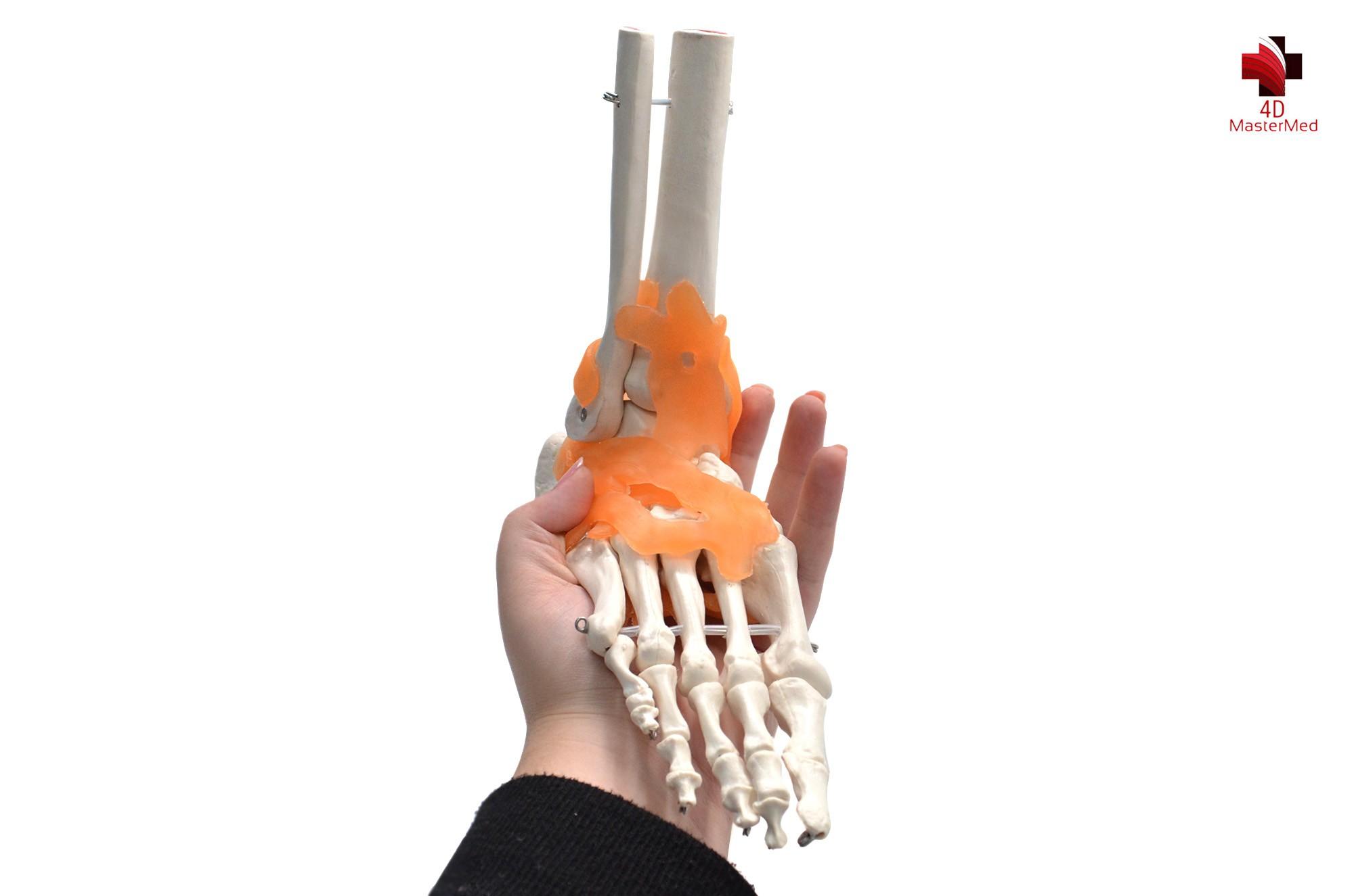 Anatomia da Articulação do Pé com ligamento