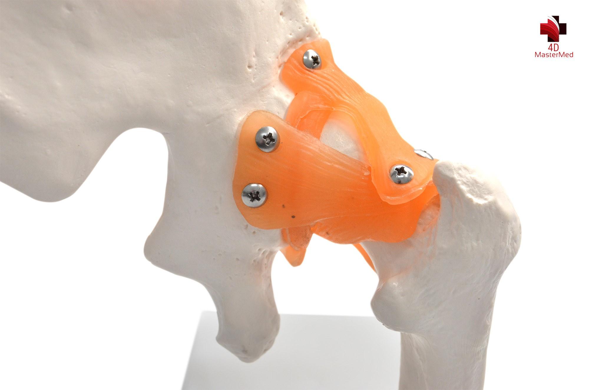 Anatomia da Articulação do Quadril com Ligamento