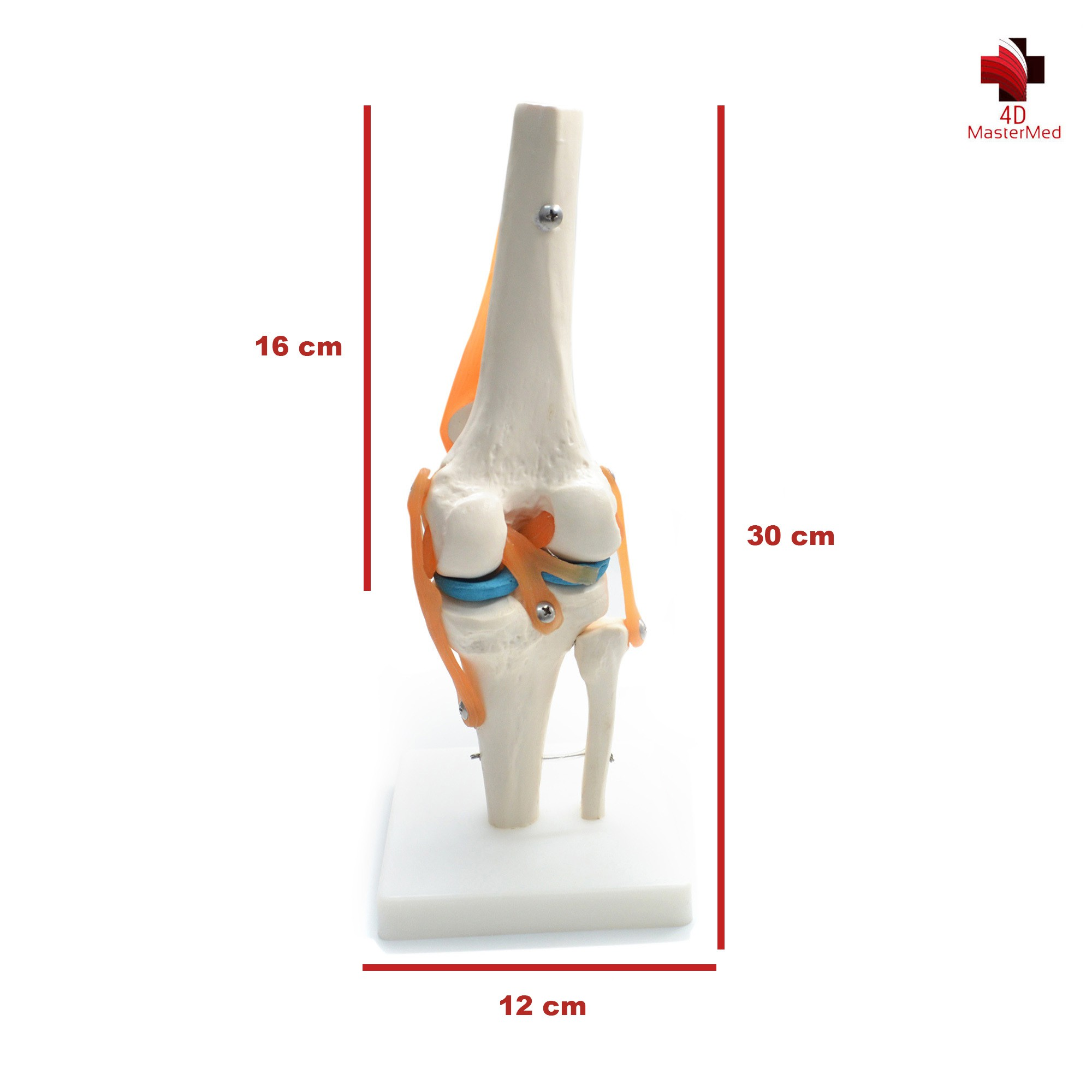 Anatomia da Articulação Joelho com Ligamentos