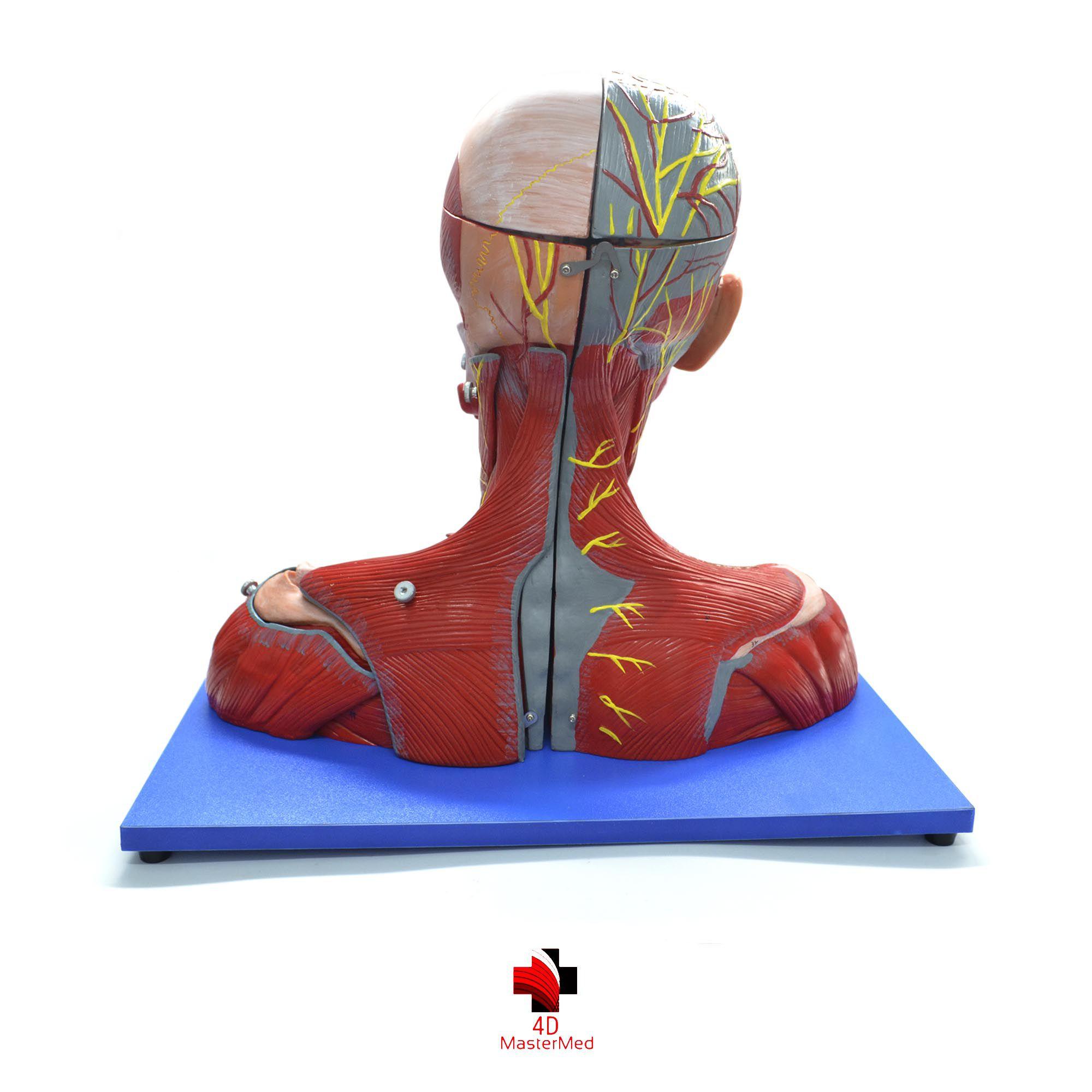 Anatomia da Cabeça e Pescoço