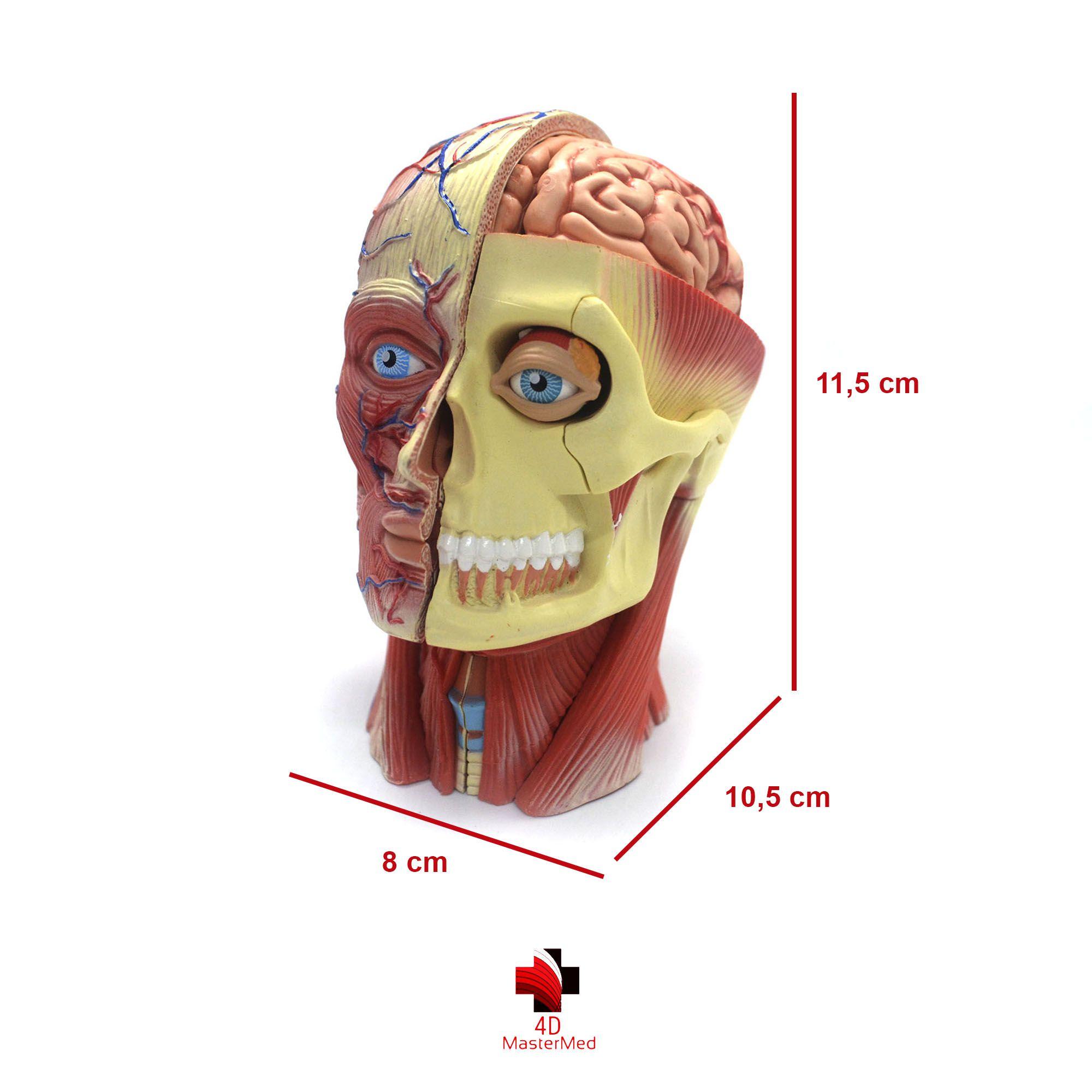 Anatomia da Cabeça Humana