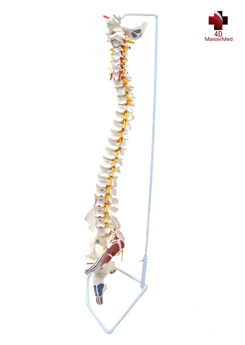 Anatomia da Coluna Vertebral