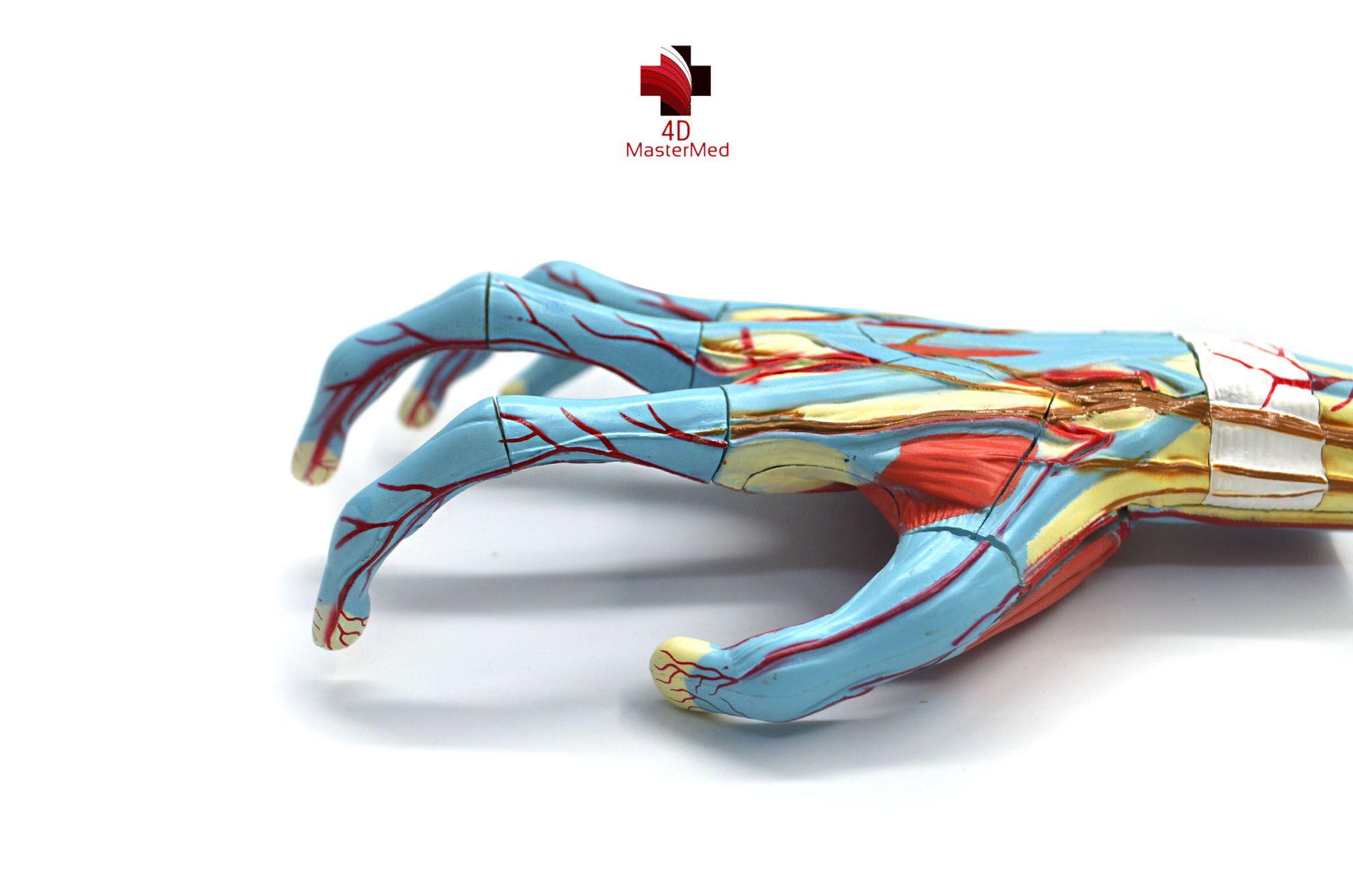 Anatomia da Mão