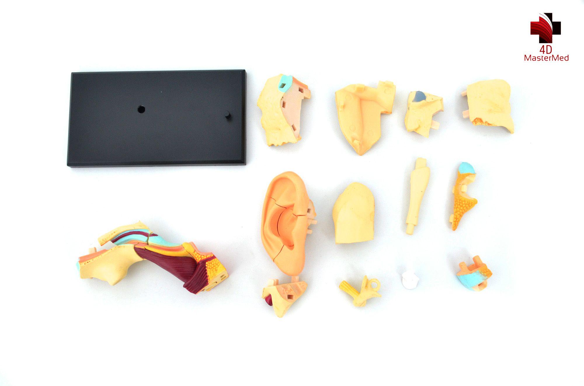 Anatomia da Orelha