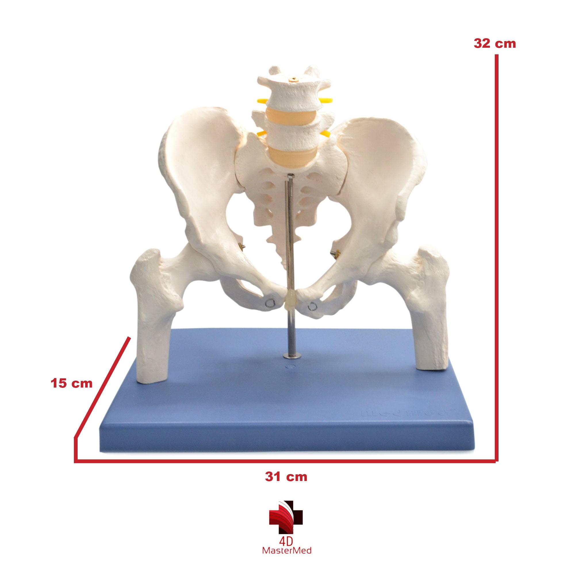 Anatomia da Pelve Masculina com Lombar e Fêmur