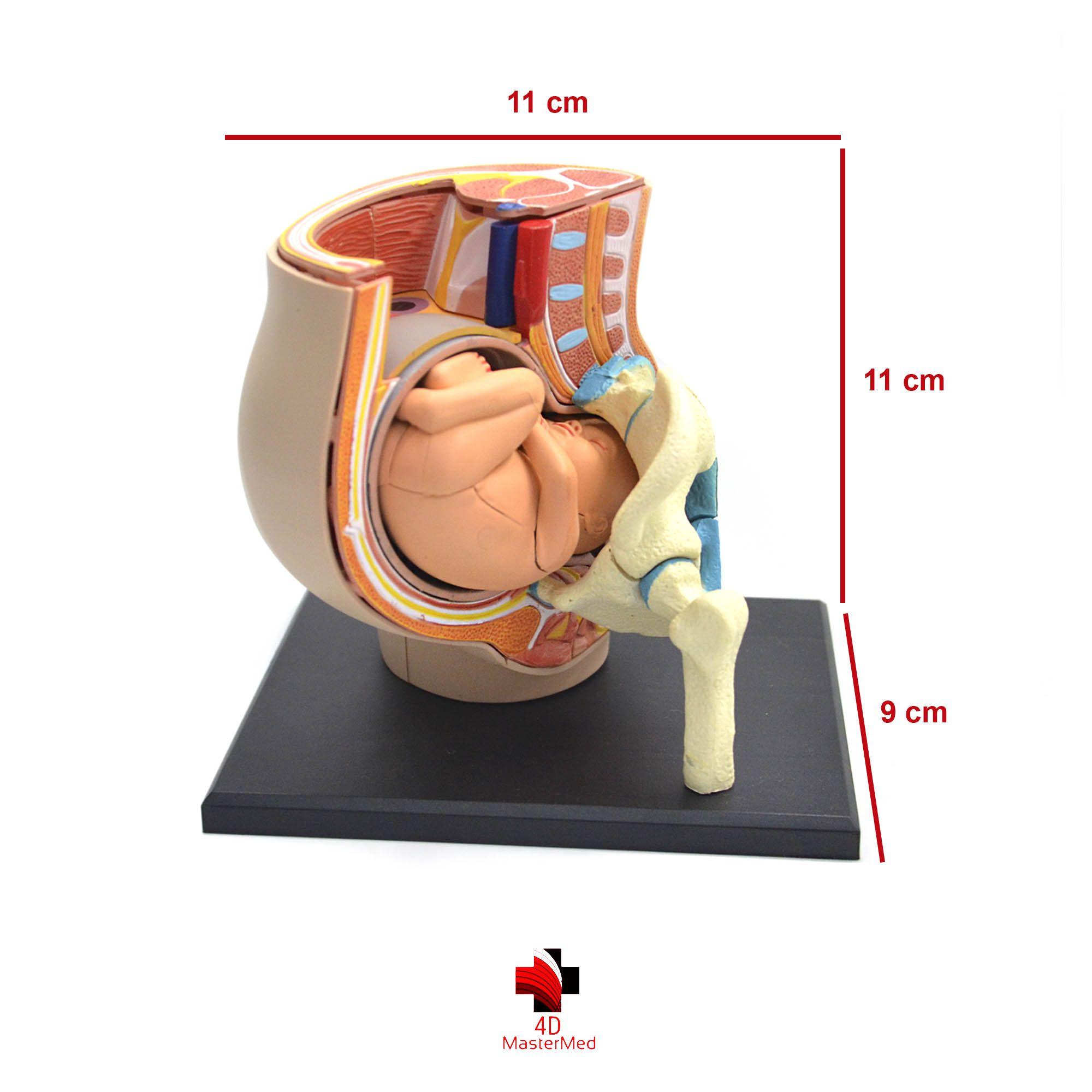 Anatomia da Pélvis com Gravidez