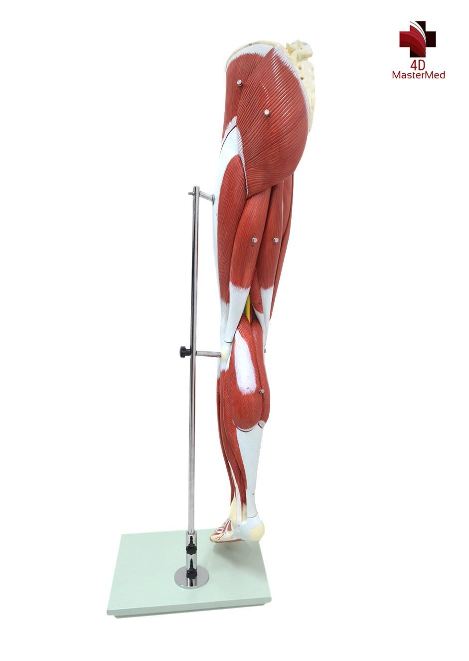 Anatomia da Perna Esquerda Humana