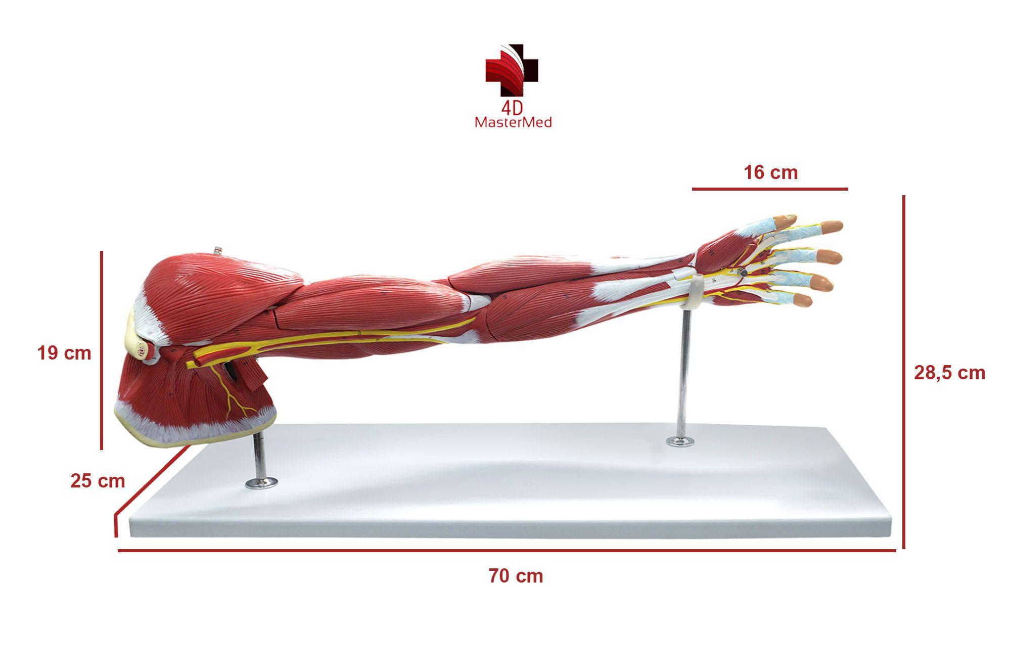 Anatomia do Braço - Membro Superior
