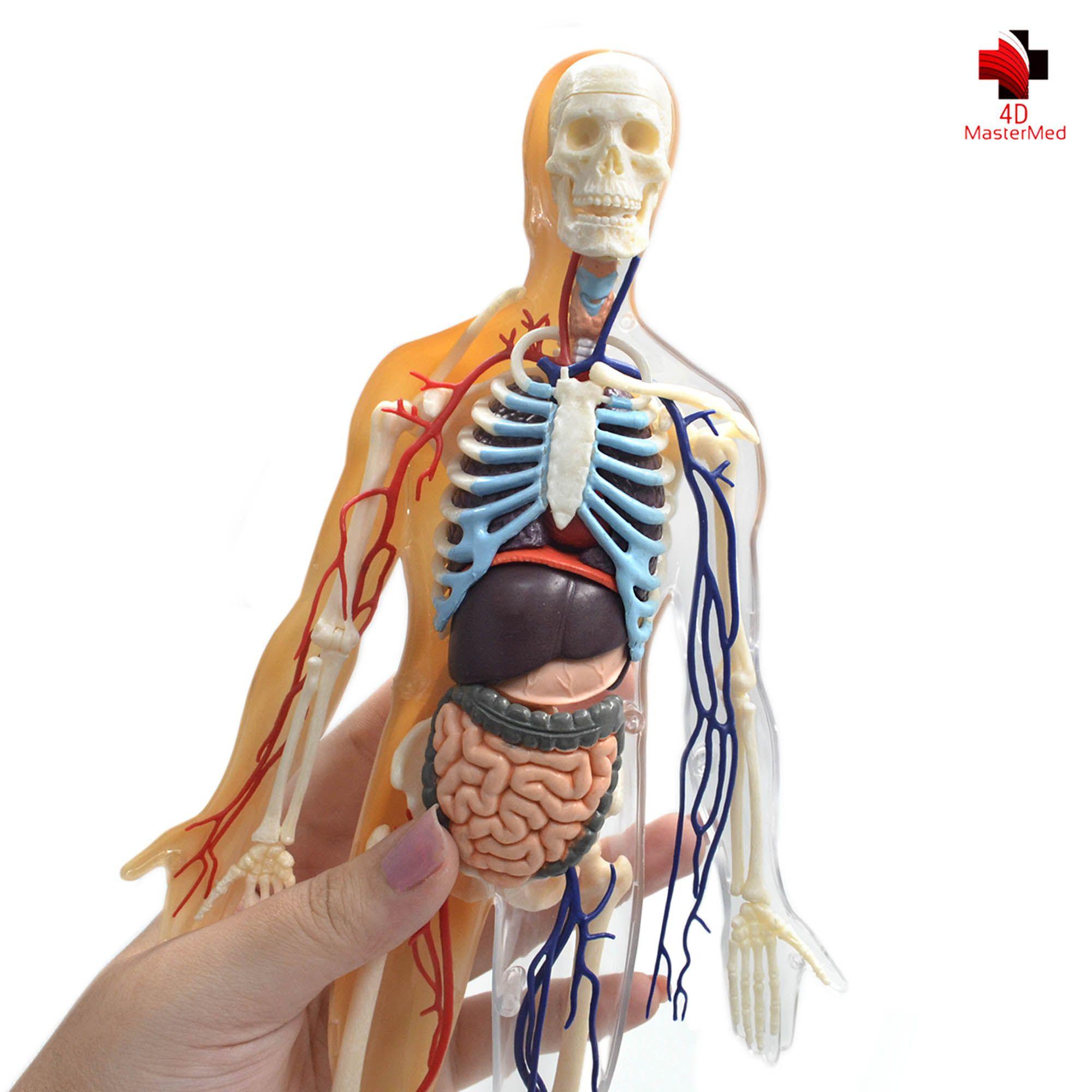 Anatomia do Corpo Humano