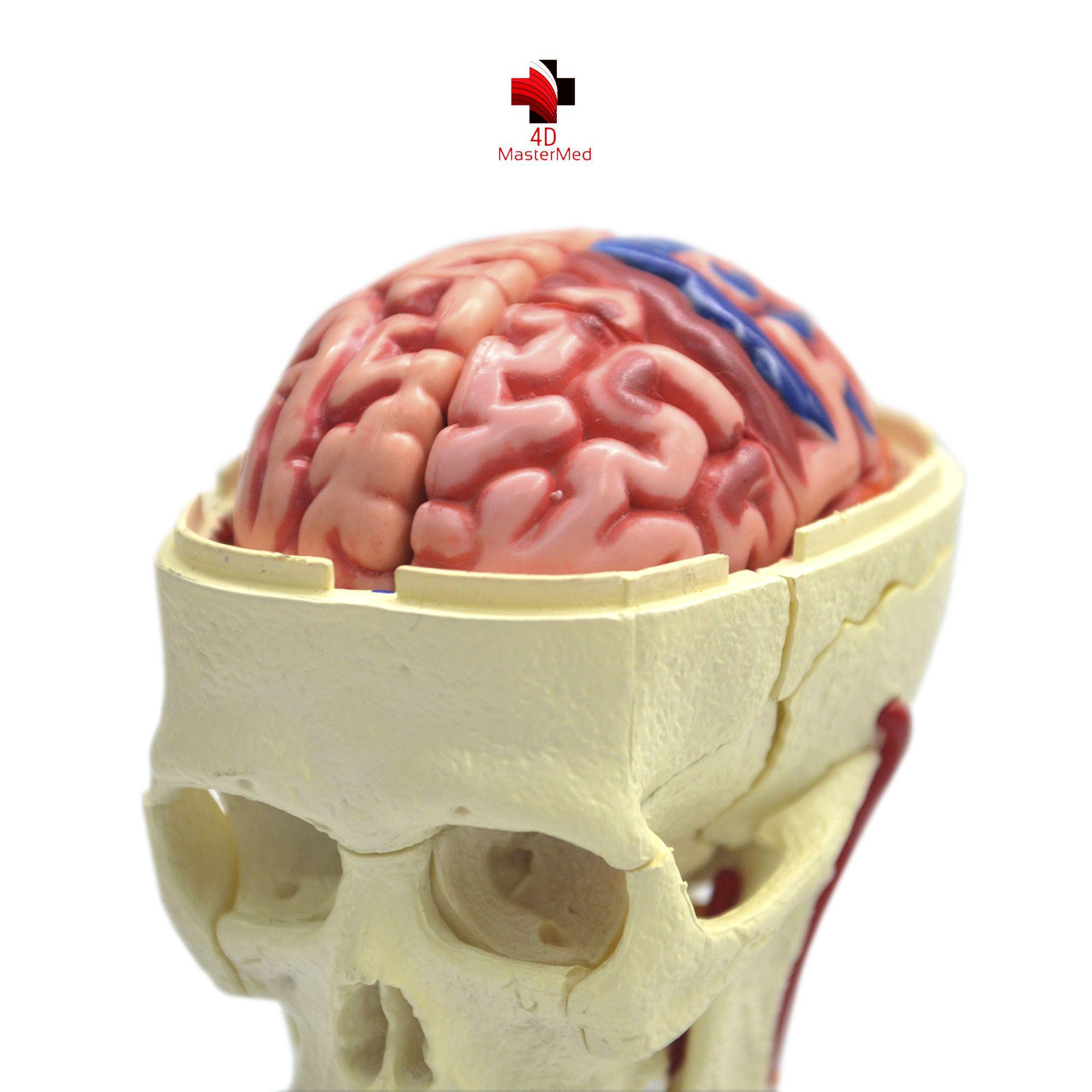 Anatomia do Crânio e Nervos Cranianos