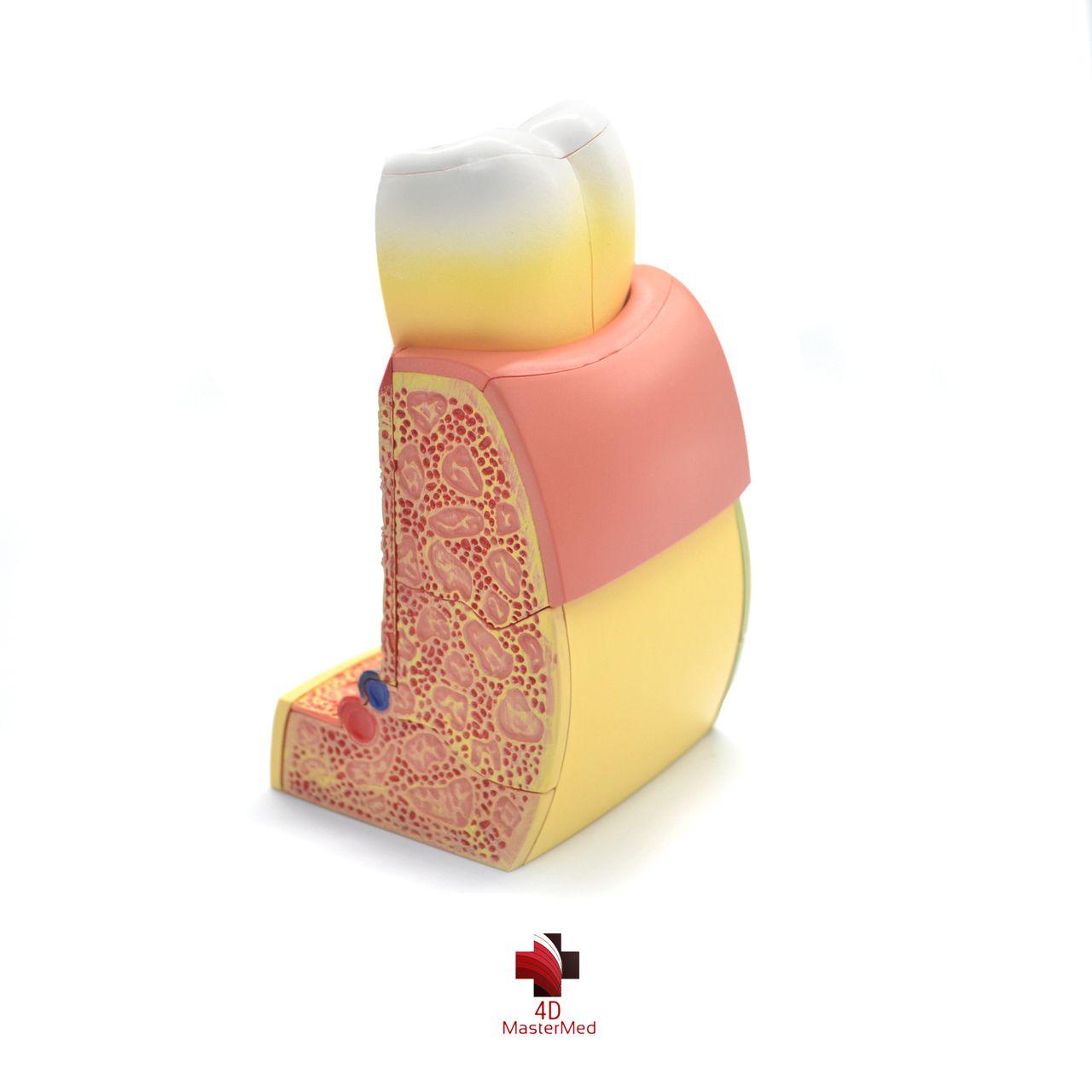 Anatomia do Dente Molar