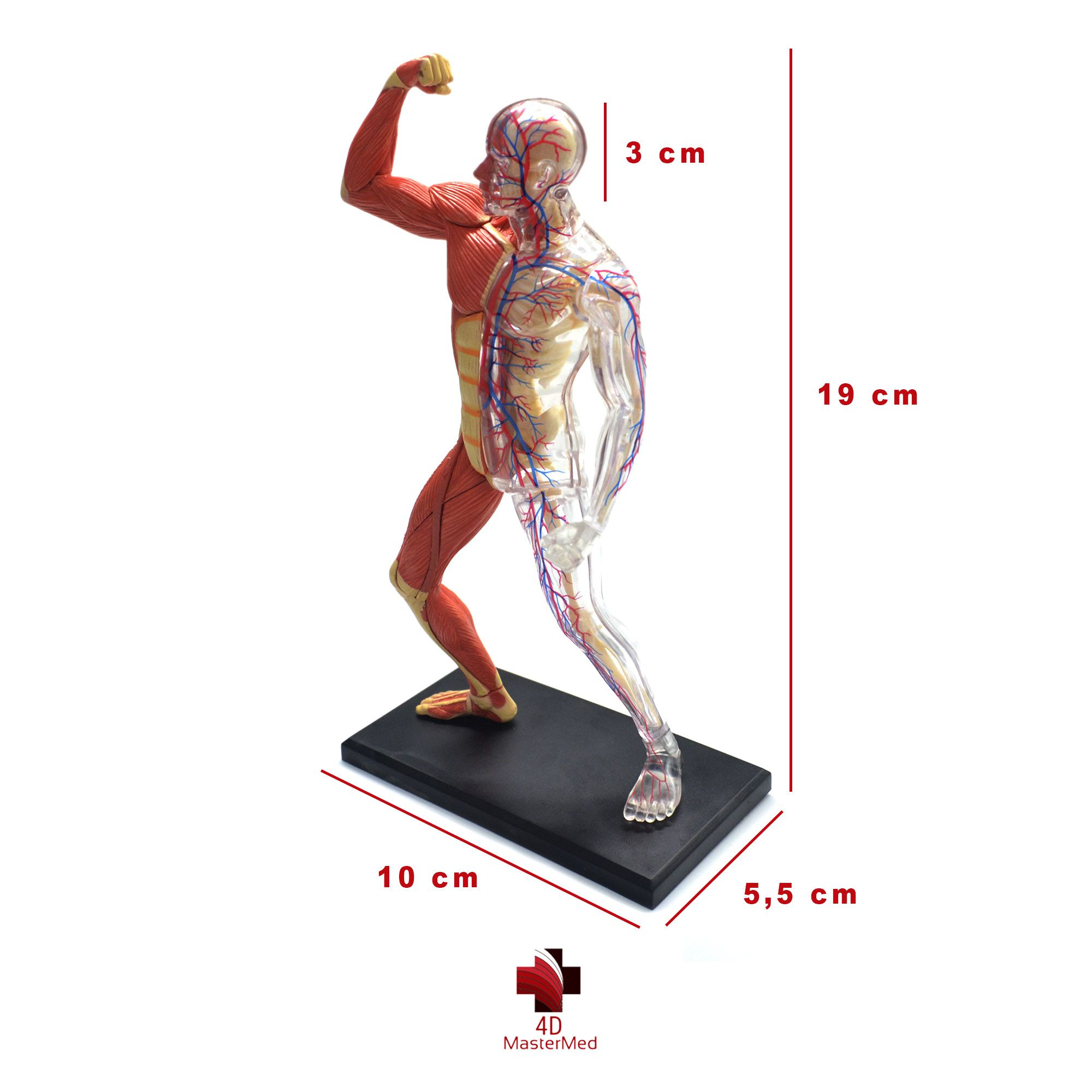 Anatomia do Esqueleto e Músculos Humano