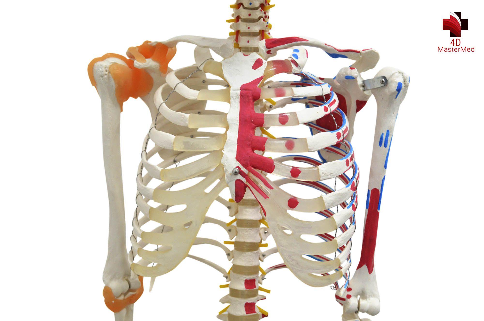Anatomia do Esqueleto Humano 1,80 articulado com ligamentos e músculos