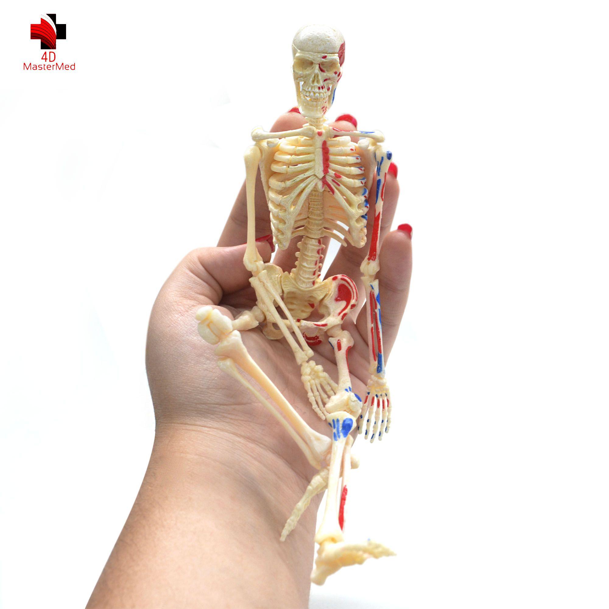 Anatomia do Esqueleto Humano