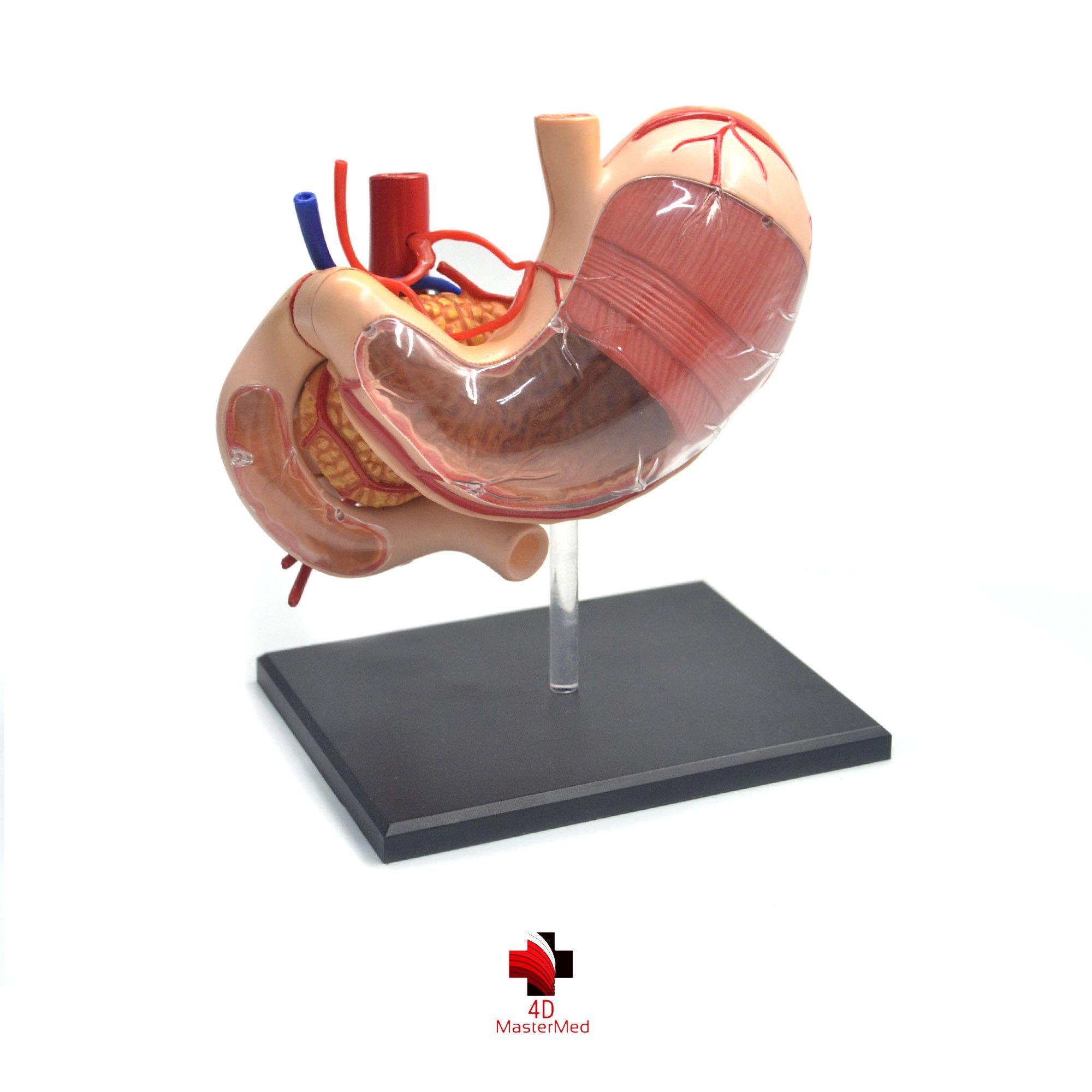 Anatomia do Estômago