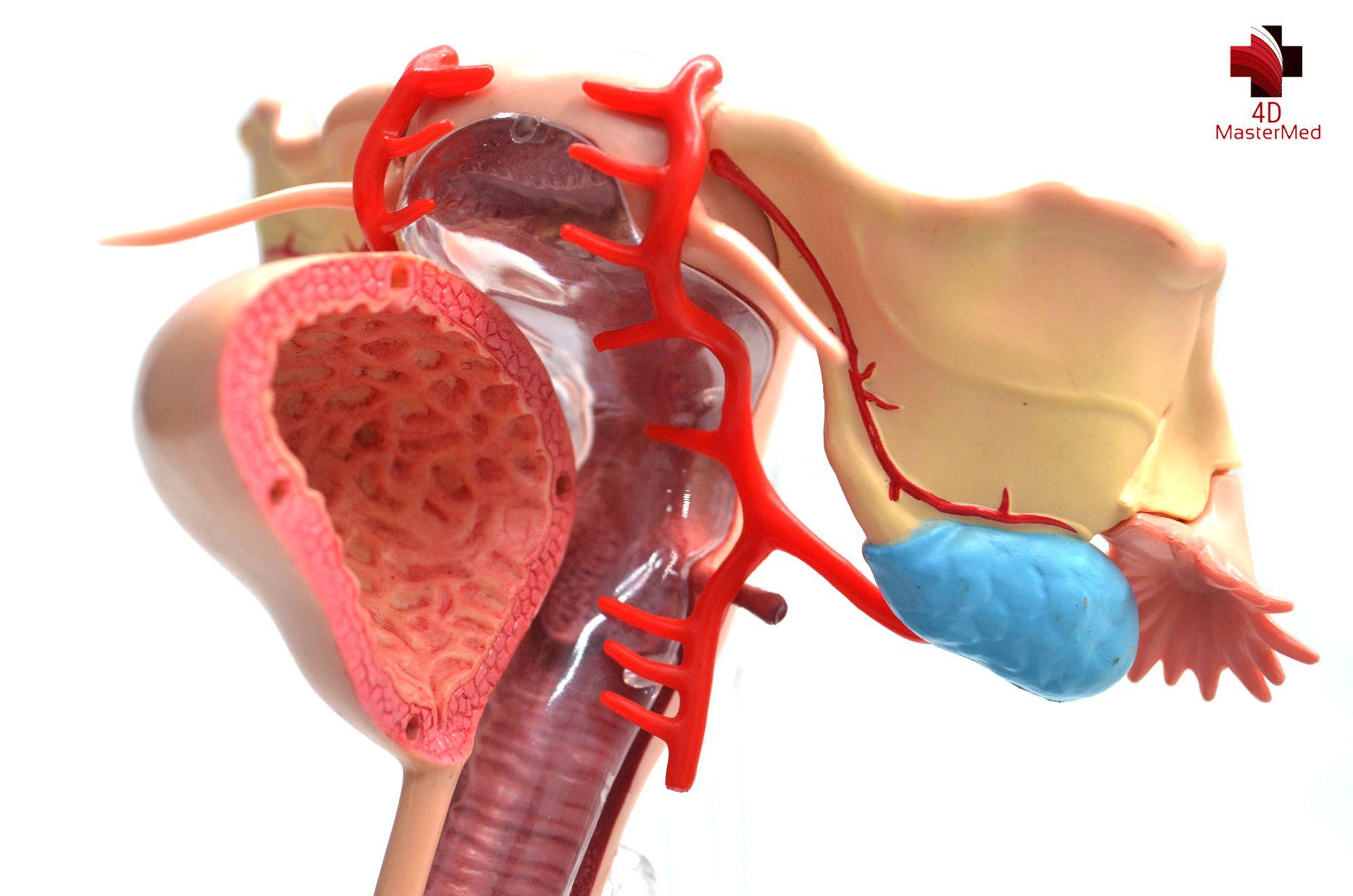 Anatomia do Órgão Reprodutor Feminino