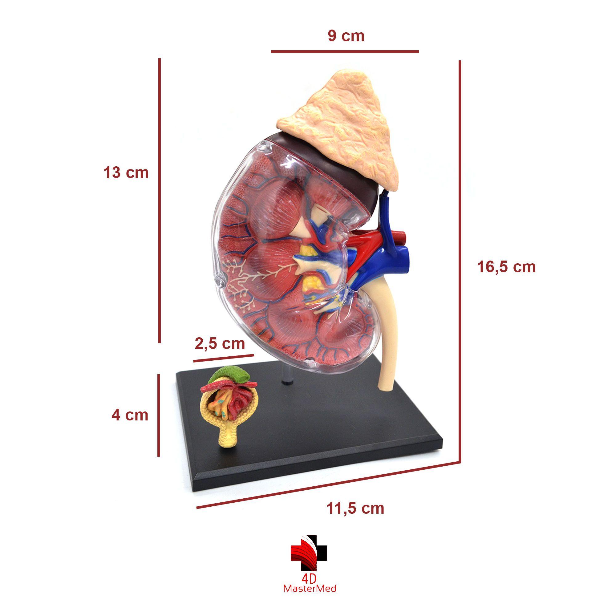 Anatomia do Rim