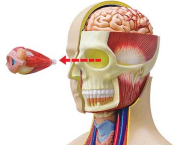 Anatomia do Torso Deluxe