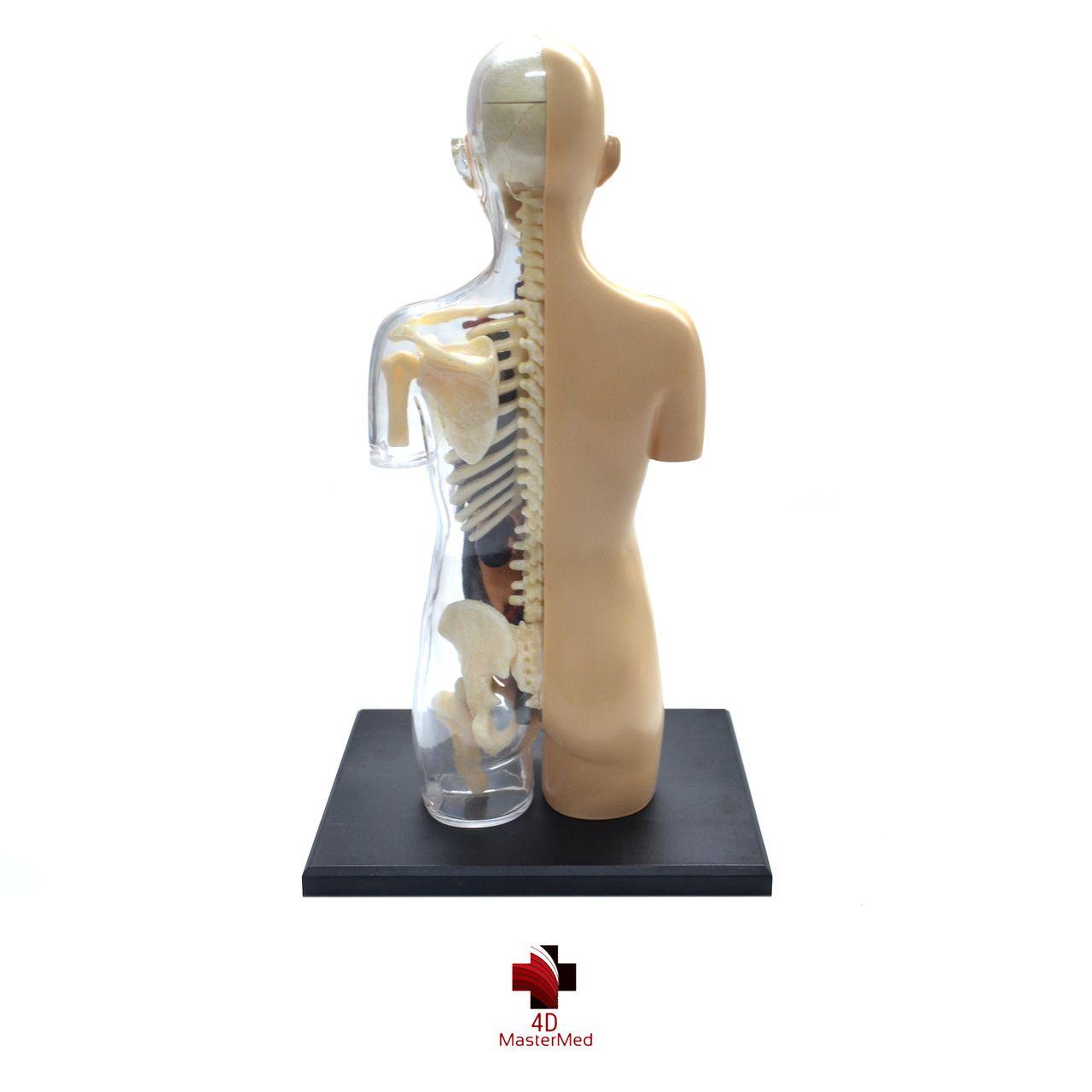 Anatomia do Torso Gravidez