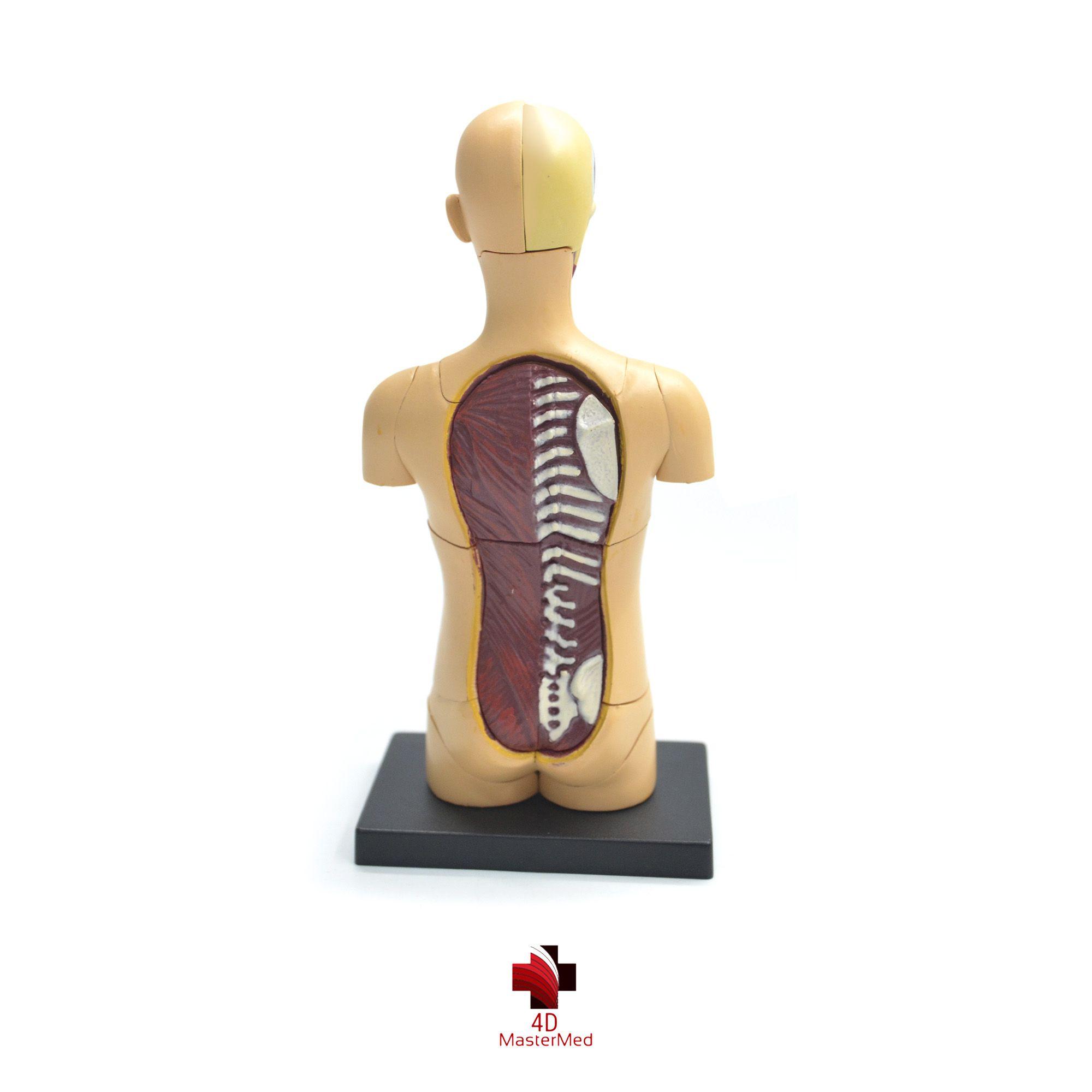 Anatomia do Torso Humano