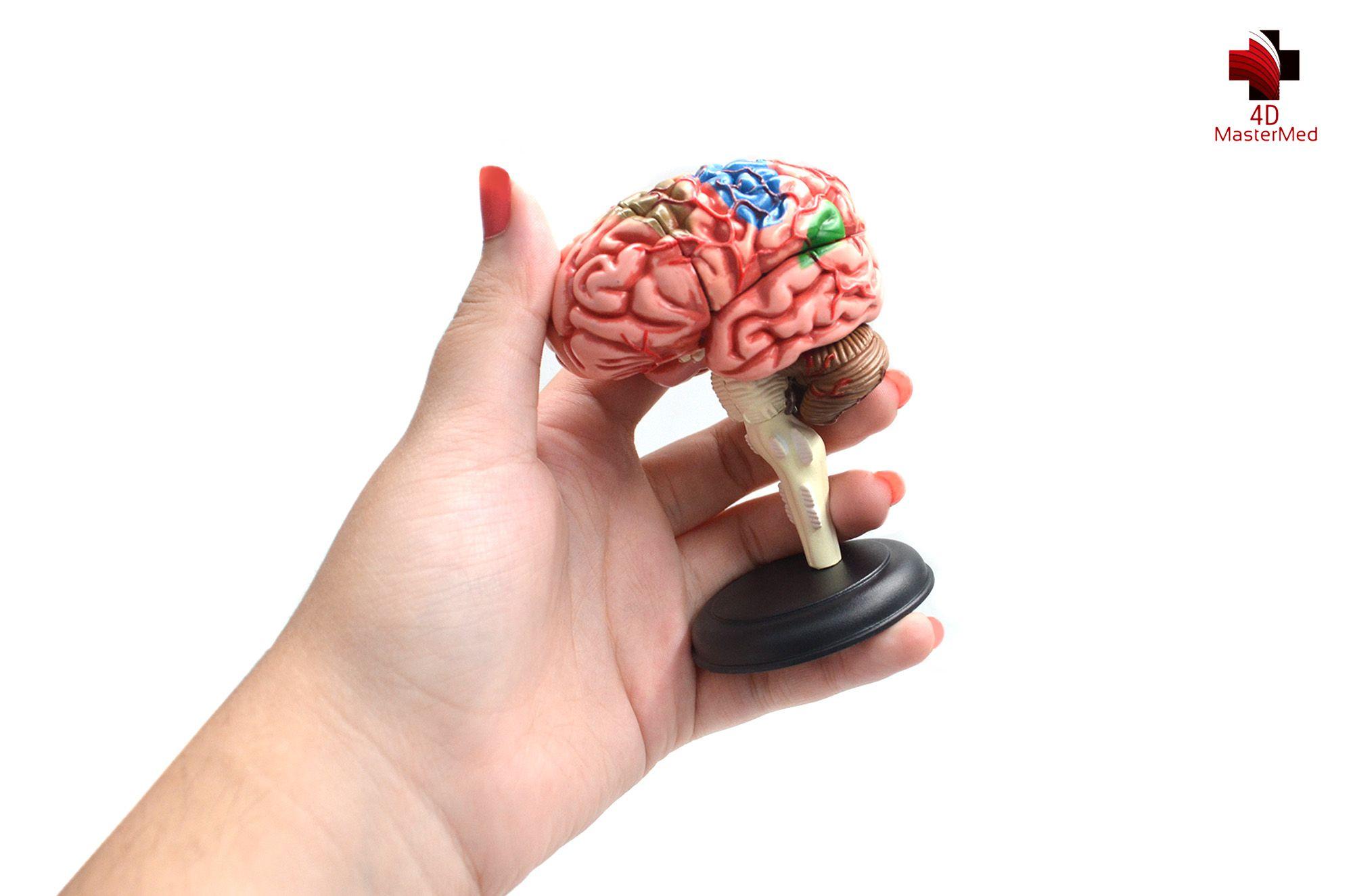 Kit anatomia humana - Cérebro e Crânio e Nervos