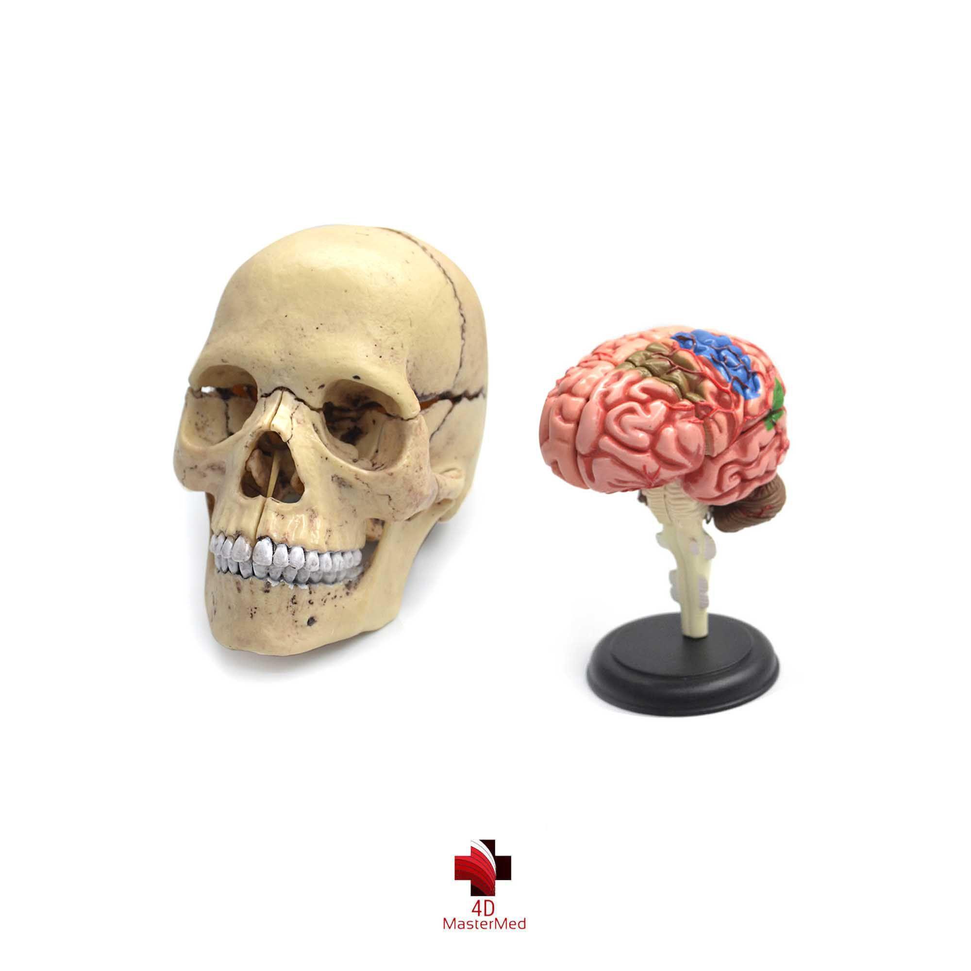 Kit anatomia humana - Cranio e Cérebro