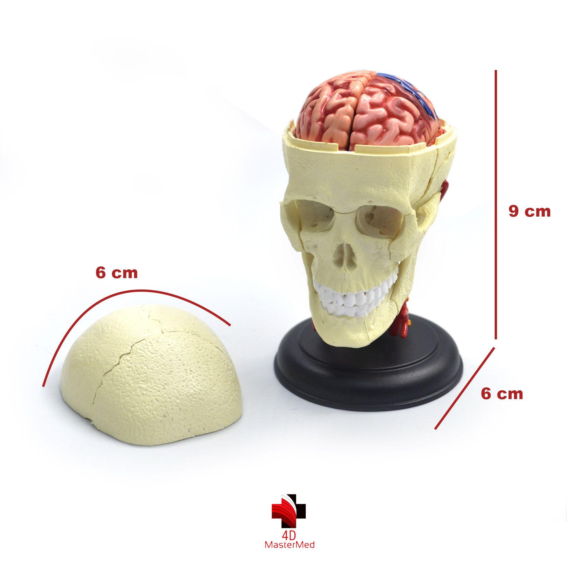 Kit anatomia humana - Crânio e Nervos, Cérebro e Cabeça