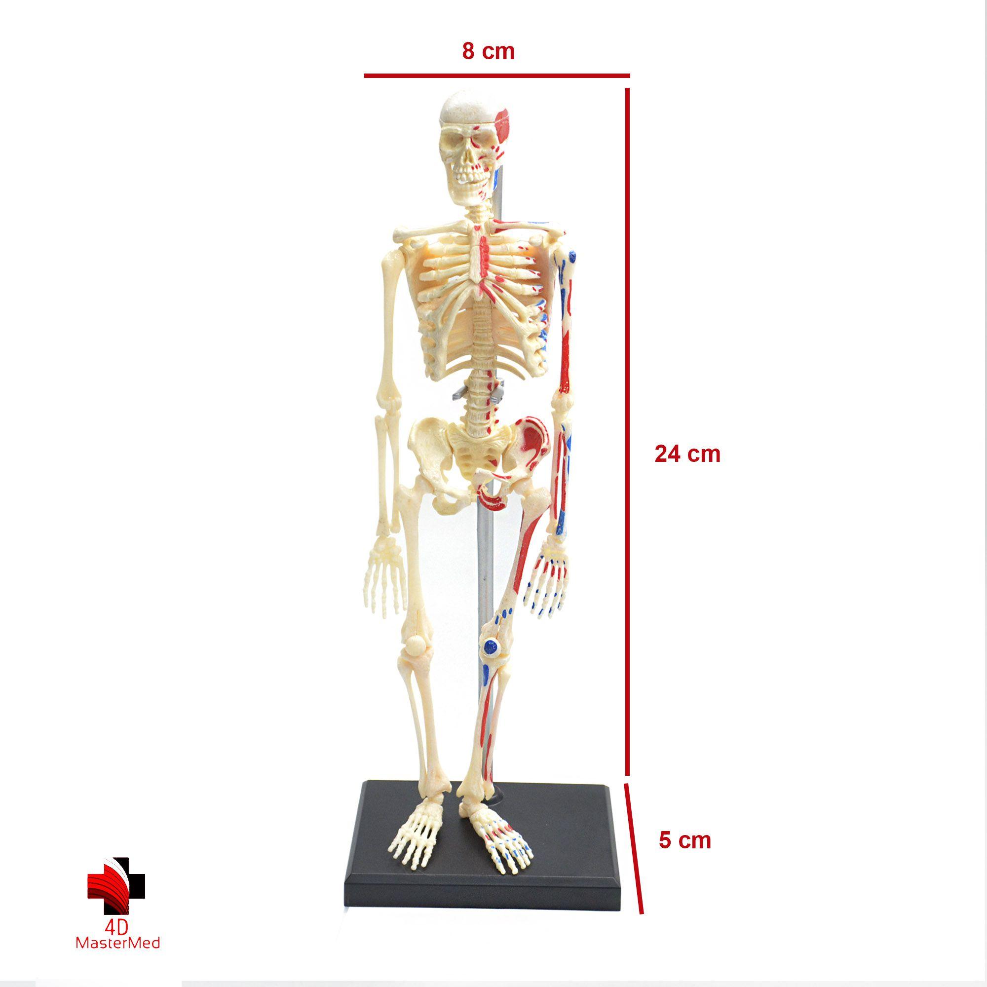 Kit anatomia humana - Esqueleto e Esqueleto e Músculos