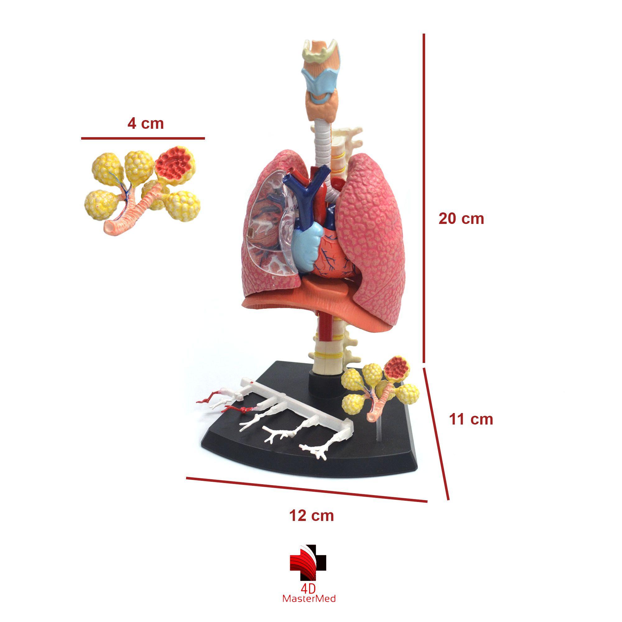 Kit Anatomia Humana - Rim, Órgão Reprodutor Feminino e Sistema Respiratório