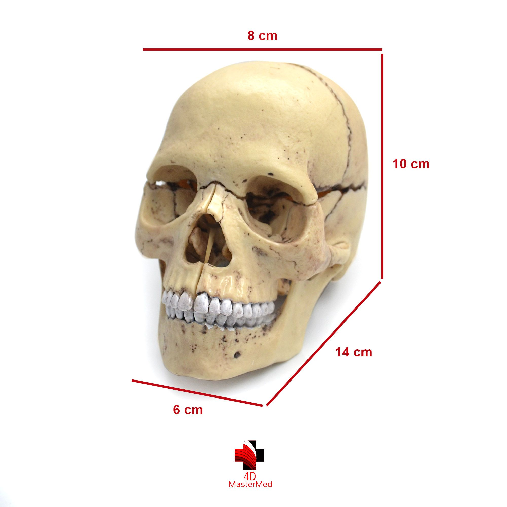 Kit odontologia - Dente Molar e Crânio