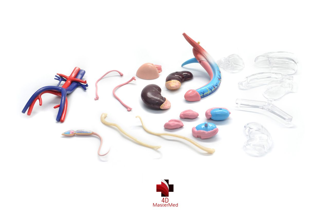 Kit órgão reprodutor humano - Feminino e Masculino