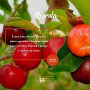Muda de Acerola - 1,5/2m