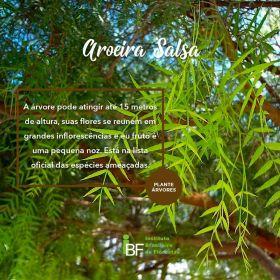 Muda de Aroeira Salsa - Schinus molle