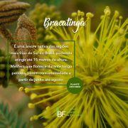 Muda de Bracatinga - Mimosa scabrella