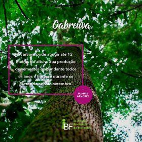 Muda de Cabreuva - Myroxylon peruiferum