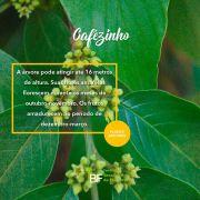 Muda de Cafézinho - Casearia decandra