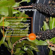 Muda de Capororoca - Rapanea ferruginea