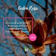 Muda de Cedro Rosa - Cedrela fissilis