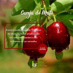 Muda de Cereja do Mato - Eugenia involucrata