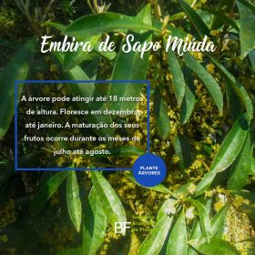 Muda de Embira de Sapo Miuda - Lonchocarpus campestris