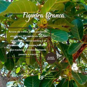 Muda de Figueira Branca - Ficus guaranitica