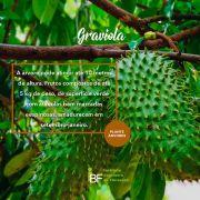 Muda de Graviola - Annona muricata L.