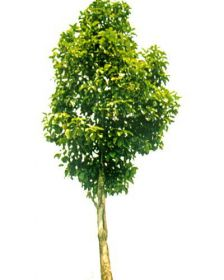 Muda de Baguaçu - Magnolia ovata