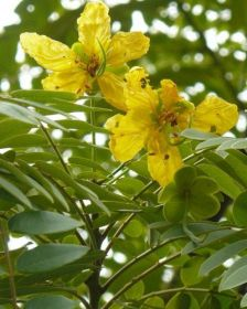 Muda de Barbatimão ornamental - Cassia leptophylla vogel