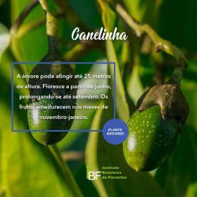 Muda de Canelinha - Nectandra megapotamica