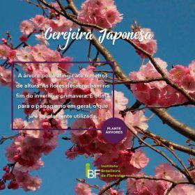 Muda de Cerejeira do Japão