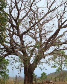 Muda de Chimbuva - Enterholobium timbouva