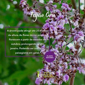 Muda de Feijão Cru - Lonchocarpus muehlbergianus