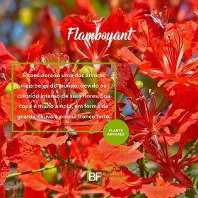 Muda de Flamboyant - Delonix regia