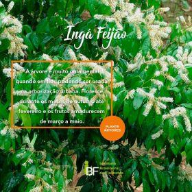 Muda de Ingá Feijão - Inga marginata